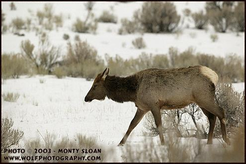 cow_elk_Snow
